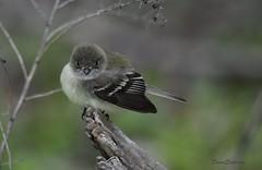 Eastern Wood Pewee (felicitydawn) Tags: flycatcher woodpewee
