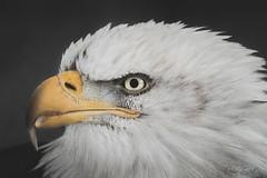 Portrait of a bald Egale (peter.zenkl) Tags: baldeagle bird eagle wildlife yukon raptor wild prey iconic usa freedom bald portrait closeup majestic