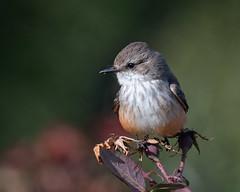 A Vermilion Flycatcher (dan.weisz) Tags: vermilion vermilionflycatcher flycatcher bird tucson