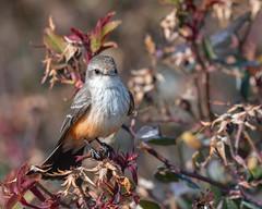 Vermilion on Rosebuds (dan.weisz) Tags: vermilion vermilionflycatcher flycatcher bird tucson