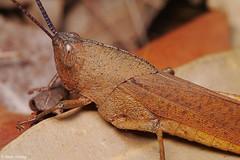 20200114 - 31  Gumleaf Grasshopper Goniaea australasiae circa 20mm. (Henry Aldridge) Tags: arthropoda kuringgai sydney australia henryaldridge insects orthoptera caelifera acrididae grasshoppers goniaeaaustralasiae gumleafgrasshopper