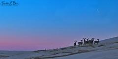 Crescent Moon Over Deer (franklin331) Tags: alpenglow artimus aspect backcountry beltofvenus bliss blissdinosaurranch blissphotographics blissranch blue border borderlands crescent deer fence frame frankbliss franklinebliss goodnewstuesday grass herd hillside image land landscape landscapeladder luna magic mano montana moon mule photo pink ranchlands scenery scenic snow sonyalpha transformationaltuesday triplecoddess wiccannature wiccansymbolism wyoming