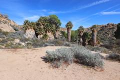Cottonwood Spring - Joshua Tree National Park, California (russ david) Tags: cottonwood spring joshua tree national park california ca travel landscape april 2019 palm trees desert