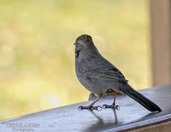 On the inside looking out (Patrick Dirlam) Tags: arizona trips fainlake birds landbirds canyon towhee bokeh