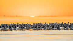 Wading For Godot (gseloff) Tags: americanavocet bird flock raft wading lowtide sunrise gulfofmexico nature wildlife seascape morning water bolivarflats bolivarpeninsula galvestoncounty texas gseloff