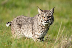 BobCat (Thy Photography) Tags: bobcat wildcat wildlife animal animals backyard nature outdoor photography avian sunrise sunset sunshine sanfranciscobayarea sonya9 sonya7rm4 sonya9ii pointreyesnationalseashore coyotelake livermore sycamoregrovepark sycamorevalleyregionalopenspacepreserve edlevin coyotevalleyopenspace sanbenitocounty efsony600mmf40gmoss fe600mmf4gmoss fullframe thyphotography
