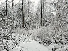 The frosty woods (walneylad) Tags: westlynn northvancouver britishcolumbia canada woods woodland forest urbanforest trees trail creek branches trunk snow white january winter view scenery nature
