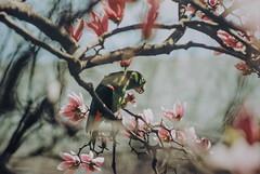 Parrot at Central Park (samarkamat) Tags: canon film ftb centralpark tokina 35200