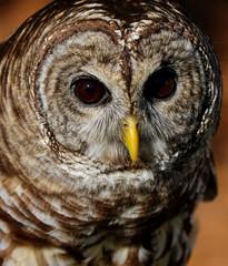 Barred Owl (dianne_stankiewicz) Tags: nature wildlife bird owl barredowl portrait feathers beak