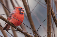 Chewing on Crape Myrtle Seed (Yer Photo Xpression) Tags: bird northerncardinal 2020 georgia forsyth ivyshaw ronmayhew canon tamron red birdwatching