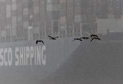 Geese and Cargo Keep on Moving Whatever the Weather (channel locks) Tags: canadagoose oaklandestuary olympusweekend mzuiko300mmf4 olympusomdem1x apspictorial containership fog rain weather