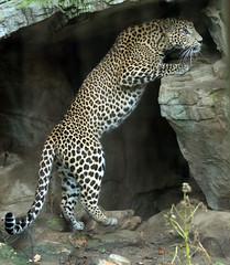 shrilankan panther Burgerszoo BB2A0181 (j.a.kok) Tags: animal asia azie artis mammal zoogdier dier predator panter panther shrilankapanter shrilankanpanther shrilankaansepanter shrlankanleopard shrlanka luipaard leopard burgerszoo burgerzoo