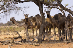 Feral Camels of the Australian Outback (duobel) Tags: review feralanimals camels animals outback desert wild northernterritory australia animalplanet