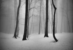 The passion of trees (Ali Shokri / www.alishokripix.com) Tags: nature landscape trees winter natgeo snow bw blackandwhite alishokri photography iran