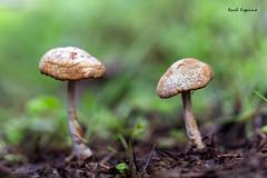 La pareja (Raul Espino) Tags: canon6dmarkii canon100mml macrofotografia macro hongos naturaleza bosque