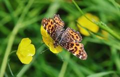 Landkärtchen (Araschnia levana f. levana), (Hugo von Schreck) Tags: landkärtchen araschnialevanaflevana hugovonschreck butterfly macro makro schmetterling insect insekt canoneos5dsr tamron28300mmf3563divcpzda010