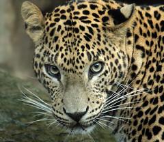 shrilankan panther Burgerszoo BB2A0214 (j.a.kok) Tags: animal mammal asia dier artis azie zoogdier leopard predator panther burgerszoo panter luipaard burgerzoo shrilankapanter shrilankaansepanter shrilankanpanther shrlankanleopard shrlanka specanimal