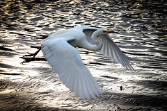 Beauty and Power of Wings (armct) Tags: power wing downstroke complete flight flying low grace neck kink currumbin creek estuary easterngreategret ardeamodest egret large bird wader waterbird