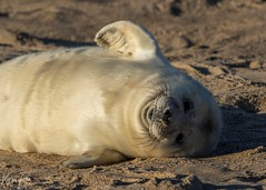 Grey Seal Pup (Karen Roe) Tags: greyseal grey seal pup young canon 7d mkii mark2 canon7dmkii 150600mm sigma zoom telephoto december 2019 winter season norfolk county britain greatbritain gb uk unitedkingdom outside outdoor day camera photo photography photograph photographer picture capture image snap shot karenroe female flickr visit visitor wildlife wild nature natur naturephotography national animal life cute colours naturaleza eos light sea coast beach happy cold weather
