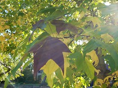 Multicolored Tree (Joe Shlabotnik) Tags: galaxys9 autumn 2019 foliage october2019 fall cameraphone