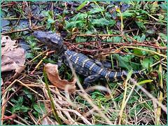 Baby alligator at 40-Acre Lake, Brazos Bend State Park (1/14/2020) (stalnakerjack) Tags: alligator brazosbendstatepark wildlife reptiles alligators babyalligator