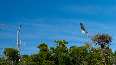 Osprey Taking Off (dhirsch987) Tags: mangrove osprey bird water nature florida everglades national sky birds sea landscape