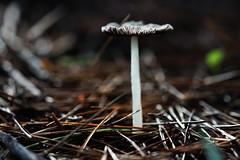 Mushroom (Macro) (Jocarlo) Tags: flickrclickx flickraward flickrstruereflection1 flickrphotowalk flickr fotografía fotografias fotos mushrooms mushroom mushies mushie fungus fungi funghi fungí pilze pilce hongos hongo seta setas setes makro makros macro macros macrophotographers macrofotografía macrofotografie macrography macrophotography macrophotografer photomacrography afotando bosque parques parque crazygeniuses creative crazygenius creativa creativeartphotography guys jocarlo melilla ngc natura a7 sonya7 sony