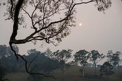 Smoky Tilba morning (OzzRod) Tags: sony a7rii sonyzeissfe55mmf18za bushfire smoke sun tree branches silhouette farmland tilba nswfarsouthcoast
