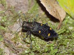 Jewel-beetle Nascioides quadrinotatus (Simon Grove (TMAG)) Tags: tasmania tmagzoology insecta coleoptera buprestidae nascioidesquadrinotatus