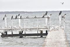 Birds on an abandoned wharf (Luke6876) Tags: silvergull gull littlepiedcormorant littleblackcormorant cormorant greatcormorant bird animal wildlife australianwildlife nature