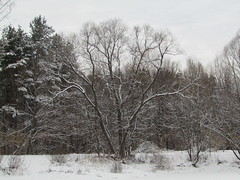 one wintershot (VERUSHKA4) Tags: tree pinetree park season snow neve winter hiver view vue canon europe russia moscow kuskovo january nature pond bough branch day beautiful capture cold white cloudy ciel sky blanc grey winterscape