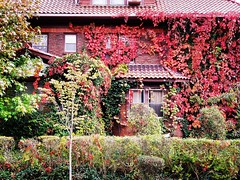House Covered In Red Ivy (Joe Shlabotnik) Tags: queens galaxys9 2019 october2019 instagram foresthills cameraphone