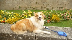 Bobby at the castle gates (jkitowski86) Tags: concarneau brittany breizh collie rough scottish sable merle