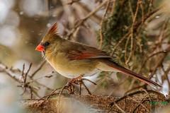 IMG_4936 female red cardinal (starc283) Tags: flickr flicker bird birding birds starc283 nature naturesfinest naturewatcher canon cardinal redcardinal femalecardinal femaleredcardinal