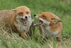 Two magnificent Red Foxes, (Vulpes vulpes). (Sandra Standbridge.) Tags: redfoxvulpesvulpes fox mammal animal wildandfree wild wildlife cute teeth greeting