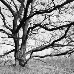 Oak branches, Sozh River Valley, December, Belarus. 2019 (artsiom.khalandach) Tags: belarus sozh valley oak branches landscape nature trees analog film ilford delta 400 bronica sqa