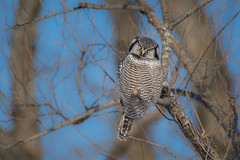 Regard coquet / Pretty gaze (anniebevilacqua) Tags: chouetteépervière northernhawkowl surniaulula nicolet look regard