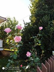 IMG_20191201_143618 (amalia_mar) Tags: roses flora flowers fiori fleurs garden winter pink pinkpurplewednesday nature colorfulnature sundaylights green