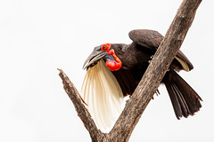 Southern Ground Hornbill (Thomas Retterath) Tags: nature natur 2019 nopeople safari wildlife okavangodelta botswana africa afrika khwai redlist tiere animals gefährdetetierart roteliste endangeredspecies groundhornbill bucorvusleadbeateri nashornvogel hornrabe vögel bird birds vogel chick