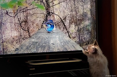 Where's the Bird? (M@rtha Decker) Tags: shakopee minnesota minn mn youtube roku video playing tv television bird birds feeder outside outdoors nature cat kitty feline ivey siamese mix samsung galaxy s10 plus smg975u cell phone marthadecker flickrology flickriver