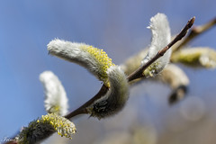 Soft morning (Irina1010) Tags: branch buds nature canon garden willow coth5 ngc