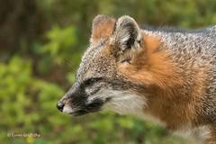 Gray Fox 502_2032.jpg (Mobile Lynn) Tags: nature landmammals fox grayfox fauna greyfox mammal mammals urocyoncinereoargenteus wildlife gray maine unitedstatesofamerica coth specanimal coth5 ngc npc