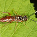Sawfly - Taxonus pallidicornis, Brentsville Courthouse, Brentsville, Virginia