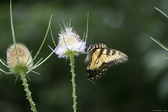 Butterfly 2019-205 (michaelramsdell1967) Tags: butterfly butterflies macro nature animal animals insect insects beauty beautiful pretty lovely yellow white green vivid vibrant detail delicate fragile wings bug bugs meadow field wildlife garden thistle swallowtail zen thorns