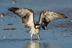 What's all the flap about (ChicagoBob46) Tags: osprey bird bunchebeach fortmyers florida nature wildlife ngc coth5 npc naturethroughthelens
