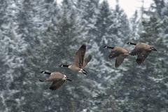 Snow flying (mysticislandphoto) Tags: wildlife bird canadagoose goose snow cowichanbay vancouverisland cowichanvalley