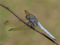 Libélula azul. (josemph) Tags: olympus e3 sigma 105mm macro zuiko ec14 insectos odonatos anisópteros libelúlidos libélulaazul orthetrumcoerulescens