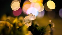 Flower - 7976 (✵ΨᗩSᗰIᘉᗴ HᗴᘉS✵90 000 000 THXS) Tags: flora flower night bokeh nature rp canon canonrp belgium europa aaa namuroise look photo friends be yasminehens interest eu fr party greatphotographers lanamuroise flickering challenge