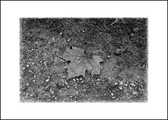 Inverno 2019 (claudiobertolesi) Tags: biancoenero bw blackwhite bertolesiclaudiophotos bertolesi flickrbertolesi claudiobertolesi claudiobertolesiphotos claudiobertolesifotografia fotografiaclaudiobertolesi foglia foglie italy italia lombardia natura nature sonyilce3000 sony 2020 parco parchi