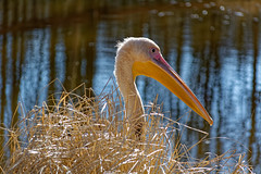 Hiding My Eggs For Easter Also (Alfred Grupstra) Tags: bird nature wildlife animal beak lake pelican water feather outdoors animalsinthewild river beautyinnature pond white reflection waterbird looking floridausa colorimage